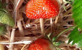 fraises 5